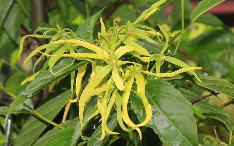 Иланг-иланг – что это за растение