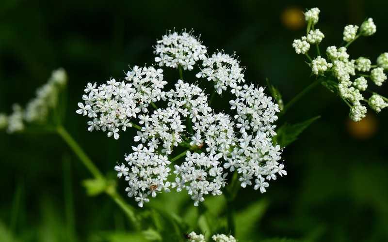 Как собирать и хранить целебное растение