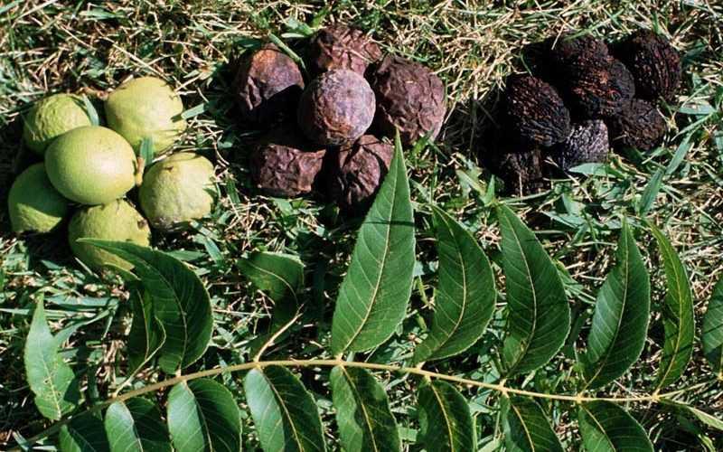 Как выглядит черный орех и его состав