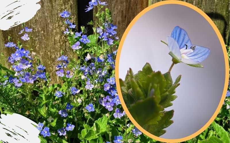 Описание растения вероника лекарственная
