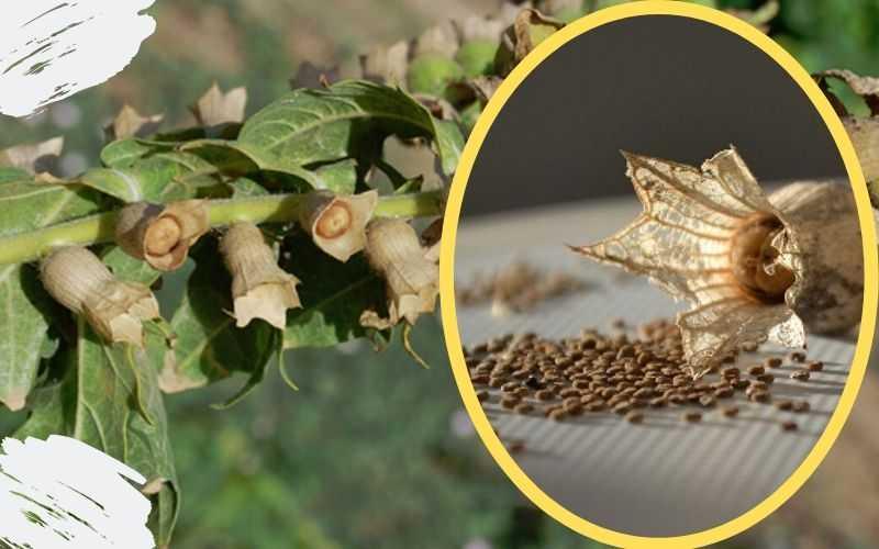 Отравление возможно при условии поедания семян