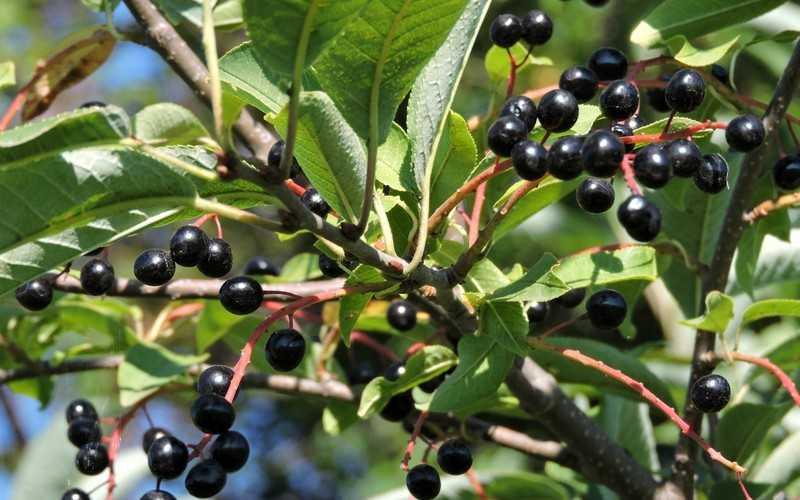 Польза растения черемуха для всей семьи