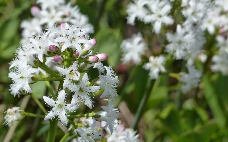 Применение растения вахта трехлистная