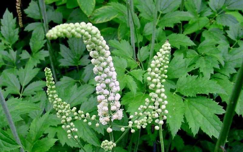Растение цимицифуга — полезные свойства, противопоказания, применение