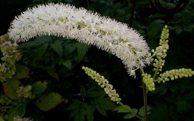 Растение цимицифуга полезные свойства