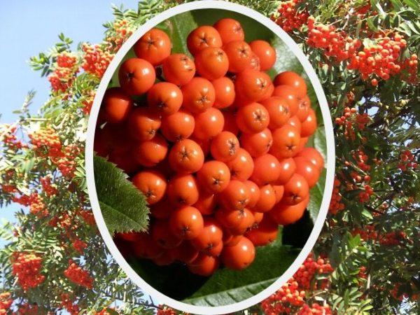 Рябина красная — лечебные свойства, противопоказания, рецепты