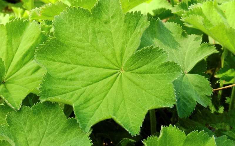 Трава манжетка — лечебные свойства, противопоказания, применение