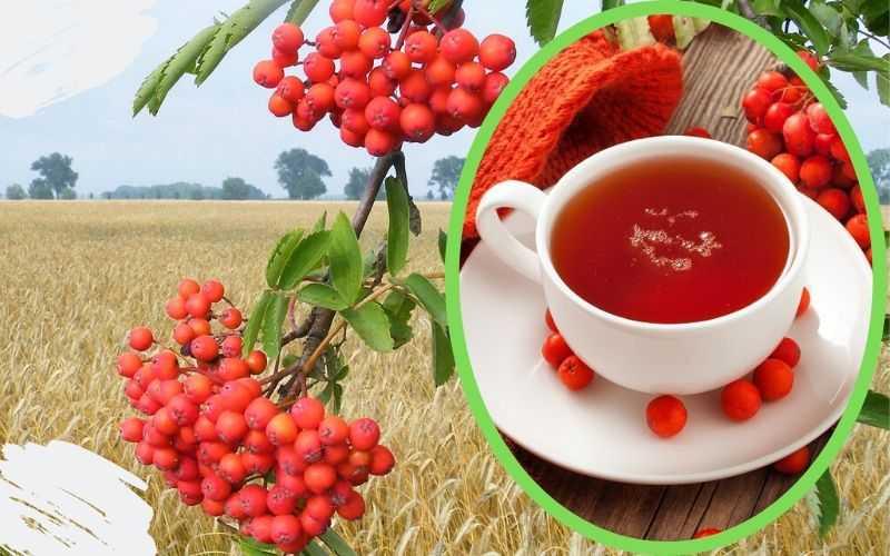 Ягода рябина обыкновенная также содержит сахара