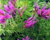 Астрагал перепончатый — лечебные свойства, противопоказания, применение