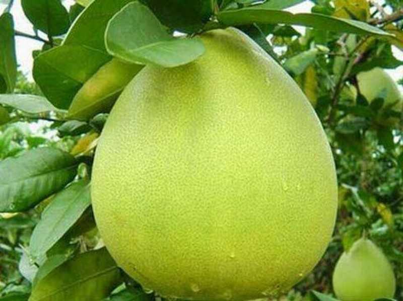 Что такое помело фрукт и где он растет