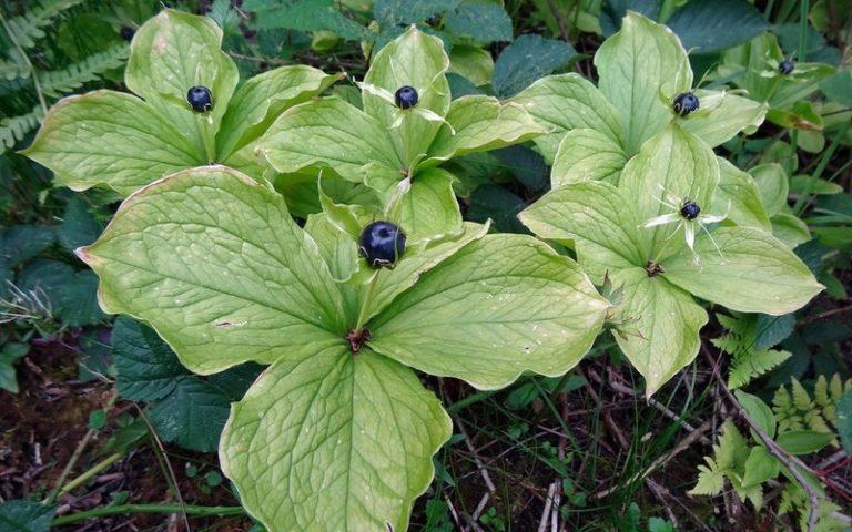 Как выглядит растение вороний глаз, лечебные свойства и противопоказания