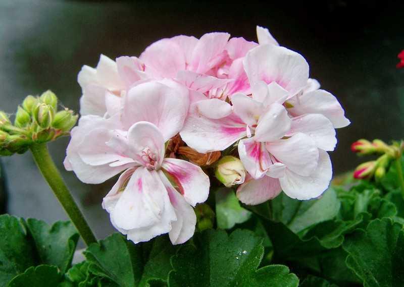 Какие лечебные свойства содержит цветок герань
