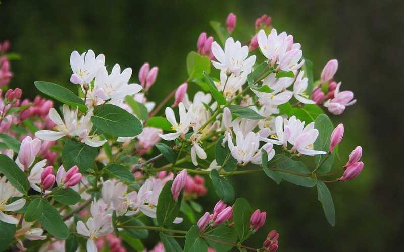 Описание и состав растения жимолость