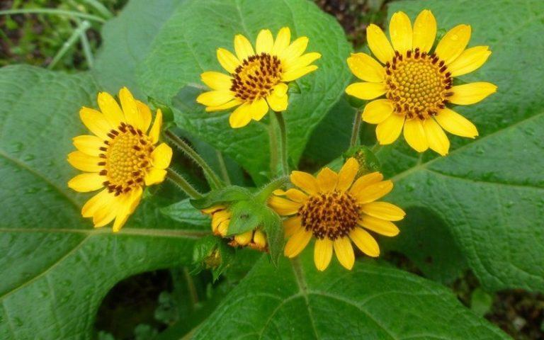 Описание растения якон, полезные свойства и противопоказания