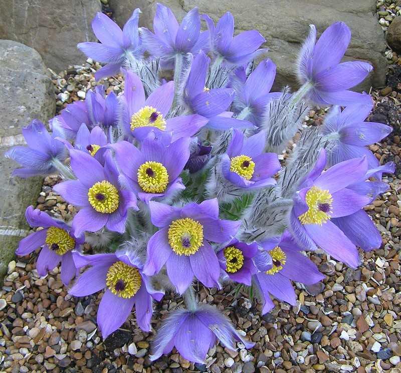 Сон трава Галлера фиолетовый
