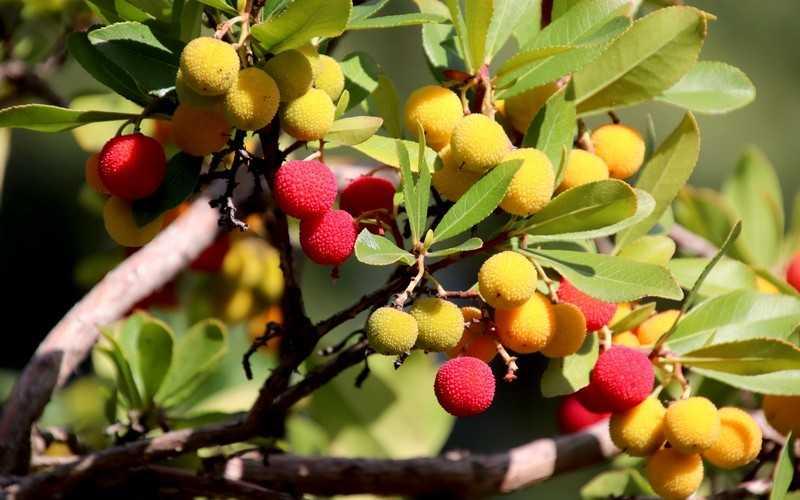 Родина этого фрукта — Китай