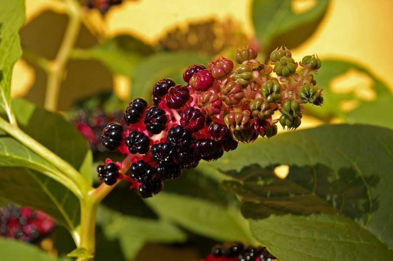 Сбор, заготовка и хранение сырья растения лаконос