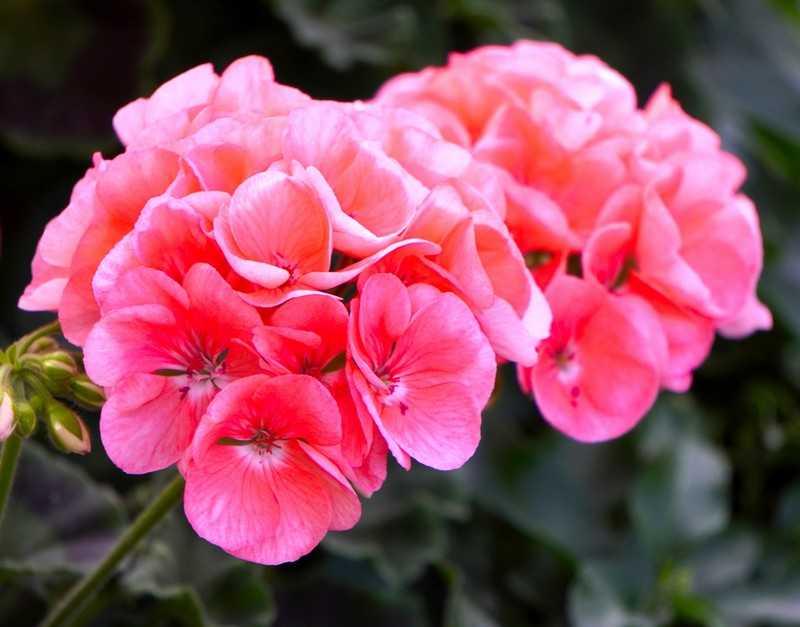Цветок герань может быть прекрасным помощником при бессоннице