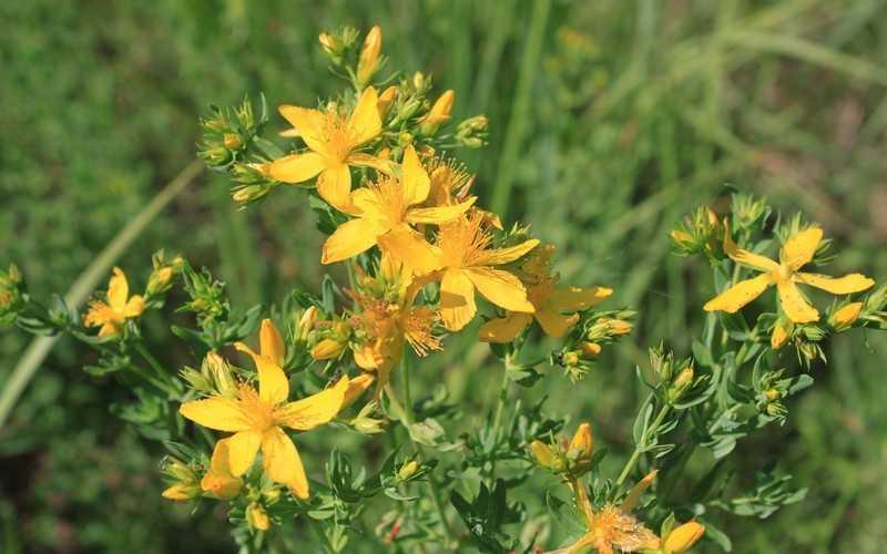 Полезные травы для кожи. Зверобой (Hypericum perforatum)