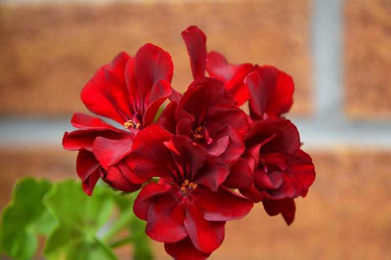 декоративное растение, которое может украсить ваш участок или дом