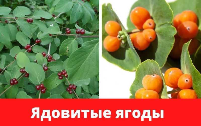 расные и желтые плоды вызывают отравление