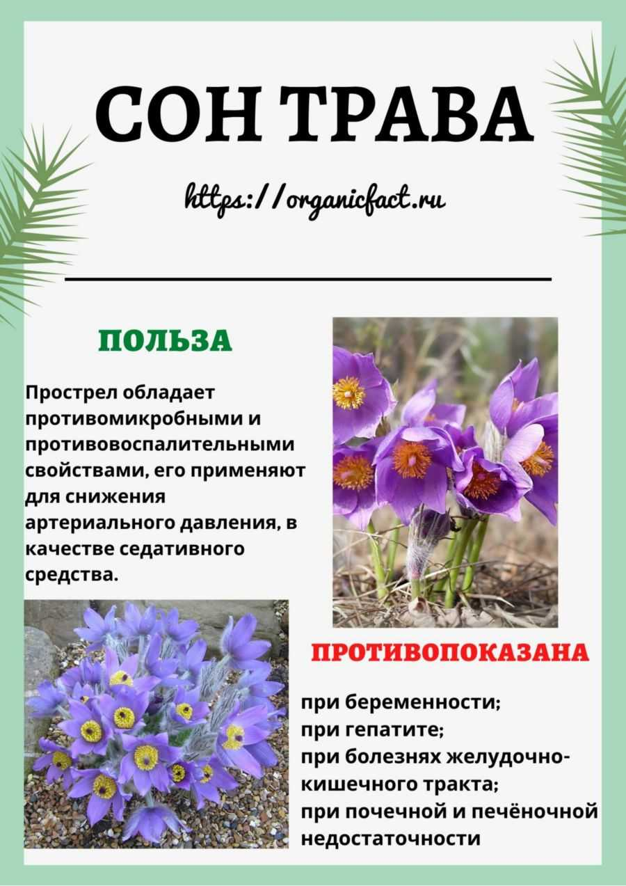ядовитое растение сон трава