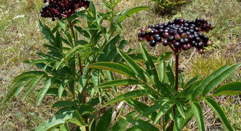 Как применять растение бузина травянистая