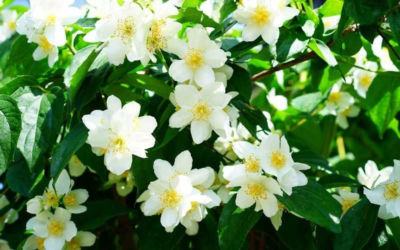 Как применять растение жасмин в народной медицине