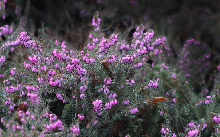 Лечебные свойства и противопоказания растения вереск обыкновенный