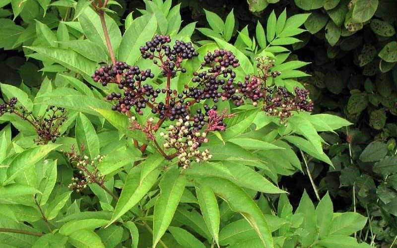 Описание бузины травянистой, лечебные свойства и противопоказания