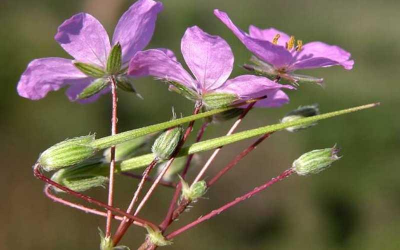 Описание растения аистник