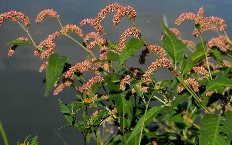 Описание растения водяной перец