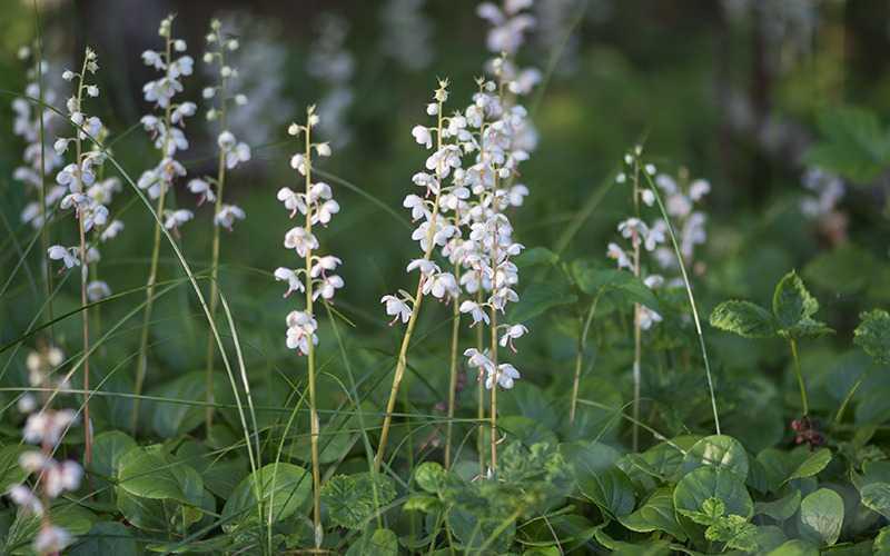 Описание травы грушанка и ее химический состав