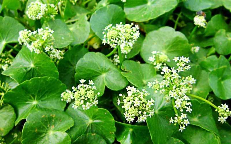 Полезные свойства и противопоказания растения готу кола, применение