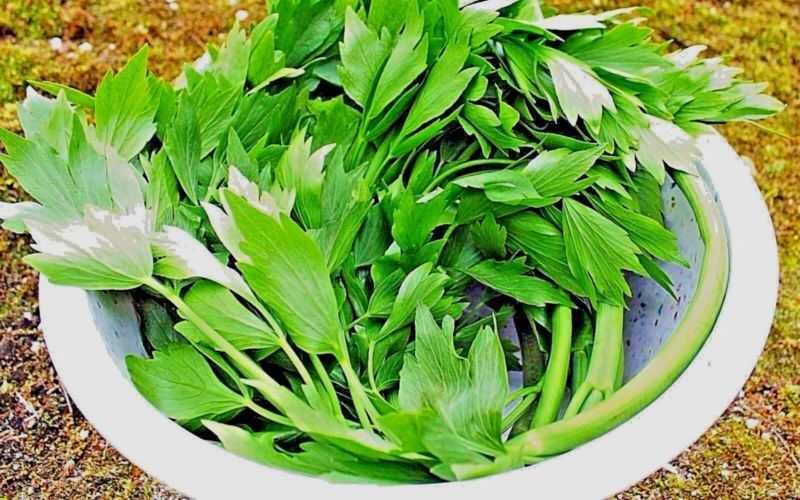 Применение растения любисток в кулинарии