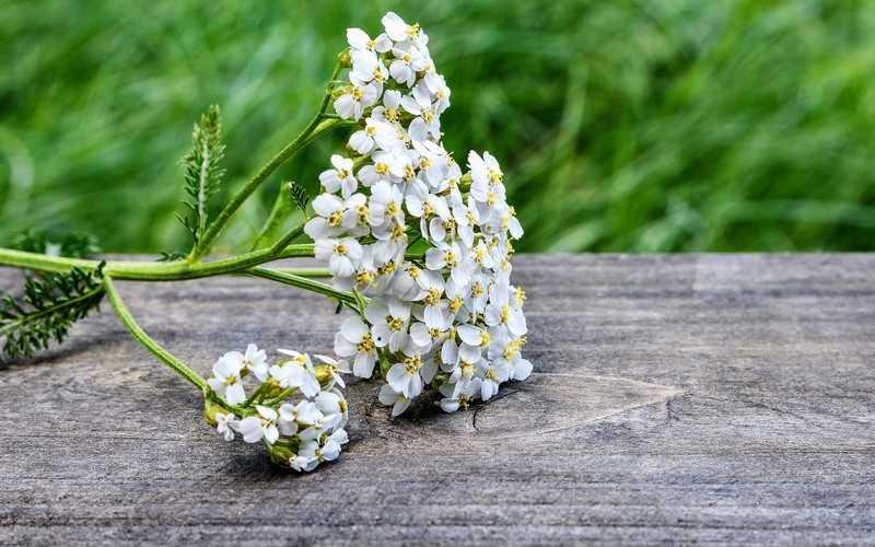 Применение растения тысячелистник в косметологии