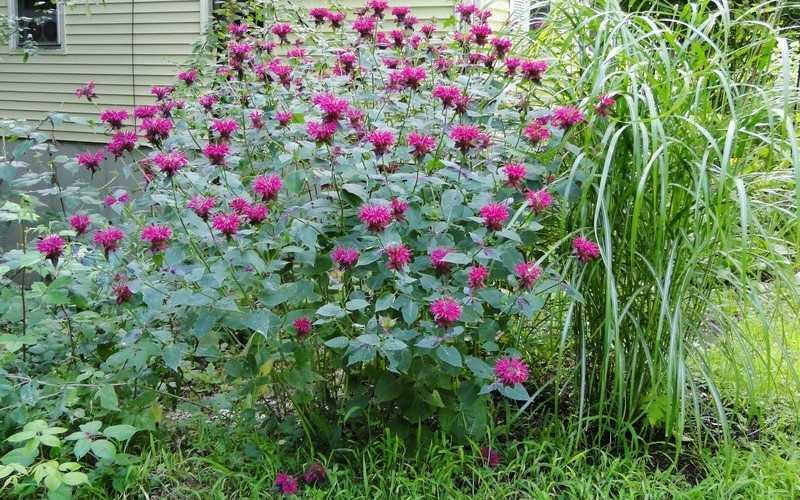 Состав и характеристики растения монарда