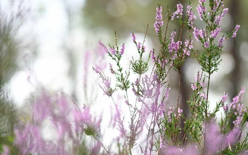 Противопоказания растения вереск обыкновенный