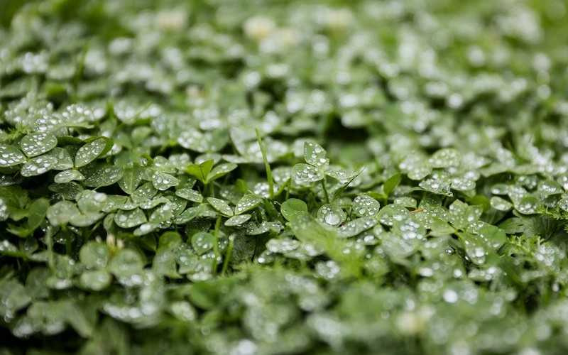 Противопоказания травы люцерна