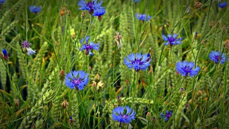 Растет синий василек, практически, во всех регионах Европейской части