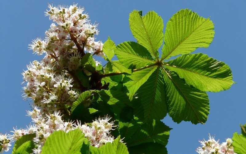 Лечебные свойства растения конский каштан и применение