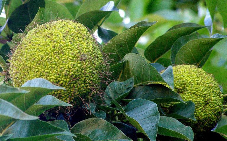Применение адамова яблока, рецепты настойки для суставов, лечебные свойства