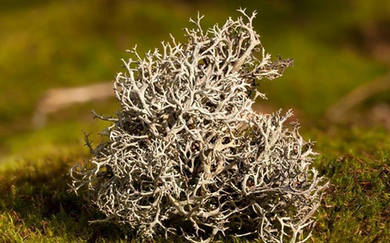 Исландский мох лечебные свойства, противопоказания