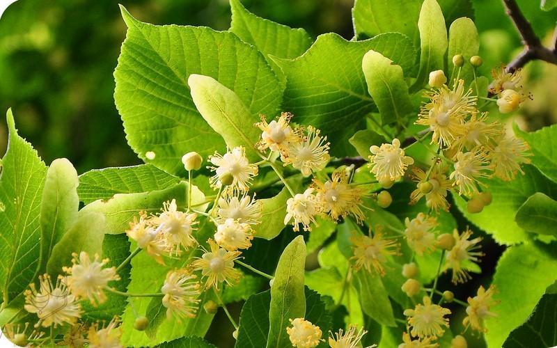 Лечебные свойства и противопоказания цветов липы
