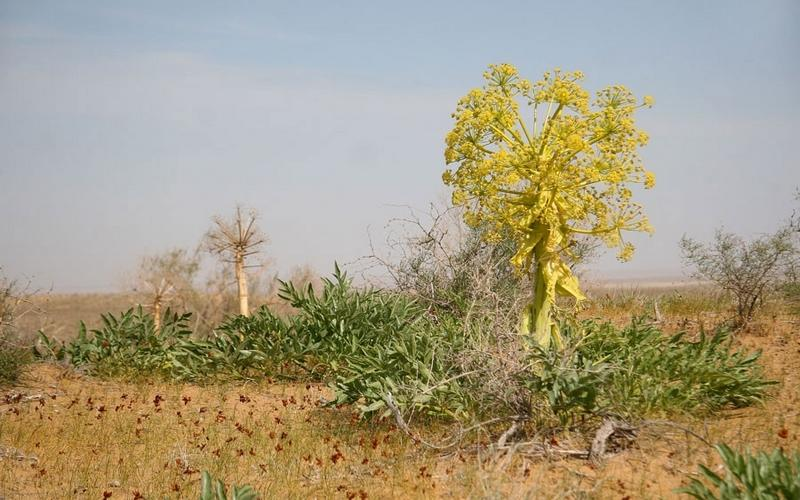 Специя асафетида представляет собой смолу корня многолетнего травянистого растения