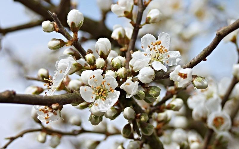 Весной цветущий в лесу дикий терн покрывается скатертью нежных бело-розовых цветков